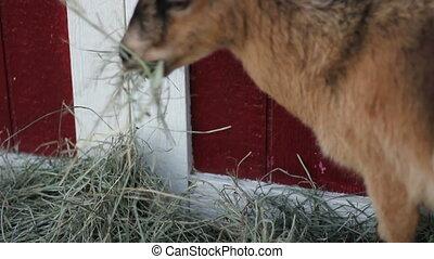 pigmy goat eats - a cute fuzzy pygmy goat eats hay on a...
