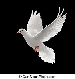 pigoen flying - flying white dove isolated on black ...