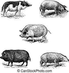 Pigs 1. Pig Siam. 2. Szalonta pig race. 3. Swine York. 4. Pork Essex. 5. Pork Norman race,