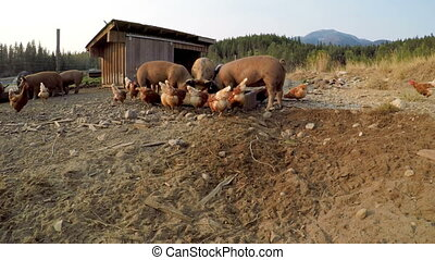 Pigs and hen having food in the farm 4k - Pigs and hen...