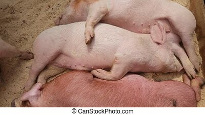Pigs are sleeping - Close up of piglets on a pig farm...