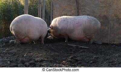 Pigs arguing - Two pigs arguing