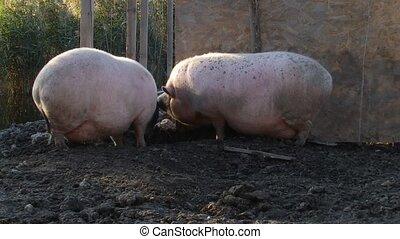 Pigs arguing