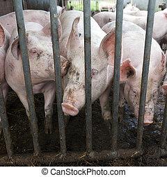 pigs behind bars on organic farm