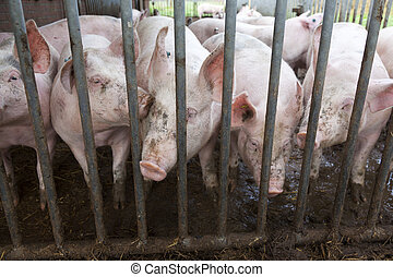 pigs behind bars on organic farm