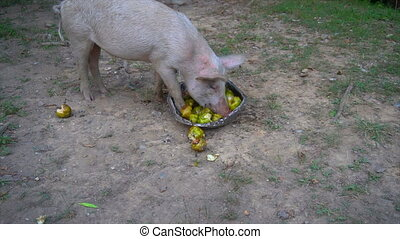 pigs eat apples from the basin.