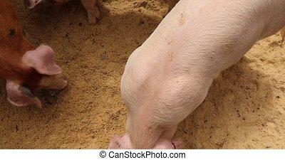 Pigs eat in sawdust top view