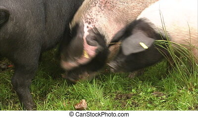 Pigs eating apples - A close up shot of pigs eating apples...