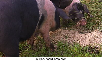 Pigs eating feeds on the grass - A medium shot of spotted...