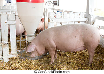 Pigs eating from hog feeder - Large white swine (Yorkshire ...