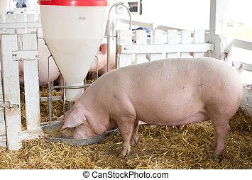 Pigs eating from hog feeder - Large white swine (Yorkshire...