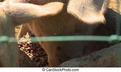 Pigs Eating in Pen - Handheld, close up shot on a pig's face...