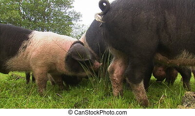 Pigs eating on green grass - Steady close up shot of spotted...