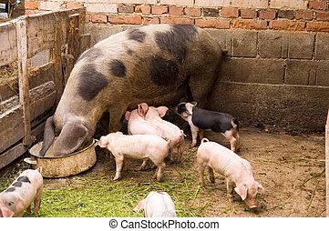 Pigs family at the farm