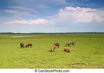 Pigs in a meadow - Herd pigs graze on the green meadow