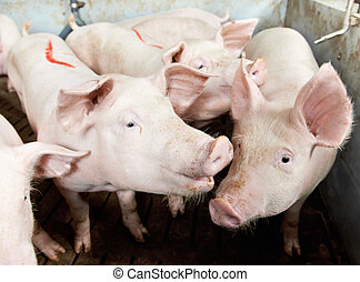 pigs in shed