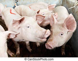 pigs, in, skjul