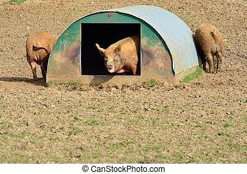 pigs in their home