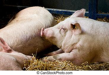 Pigs lying in pen