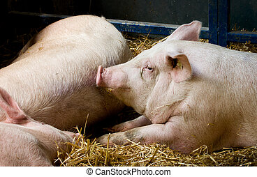 Pigs lying in pen