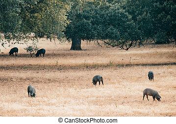 pigs on grassland in Extremadura, Spain.