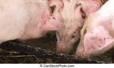 Pigs on livestock farm. Pig farming. Pigs eat from a bowl of...