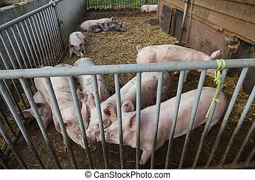pigs on organic farm in holland outside barn in straw