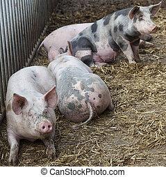 pigs on organic farm in holland outside barn in straw