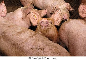 pigs on the farm,