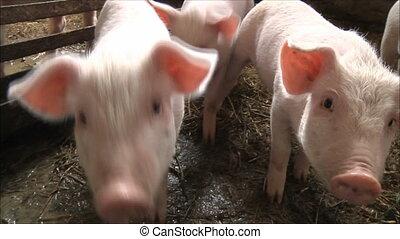 pigs  - pig farm