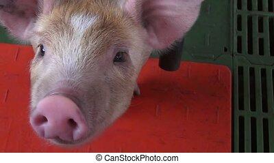 Pigs, Piglets, Hogs, Farm Animals