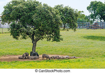 pigs resting in the shade of a tree