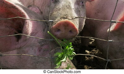 Close up of big domestic pigs eating the grass through the cage.