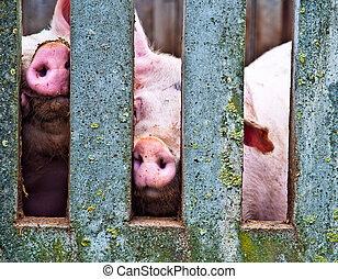 Pigs through fence