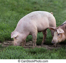 Pigs walking on farmland