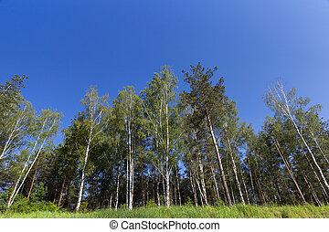 pijnboom bomen, in, de, bos
