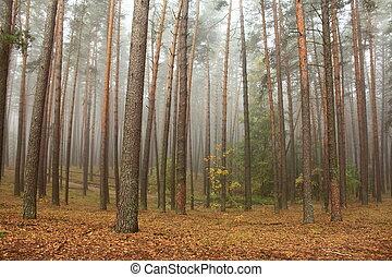 pijnboom woud, in, morgen, mist