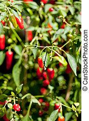 pikant, rot heiß, peperoni, auf, baum, in, sommer, draußen