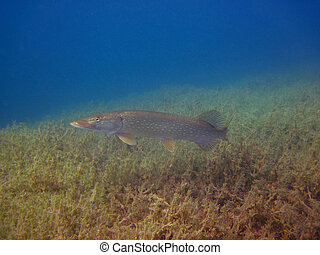 pike in the lake