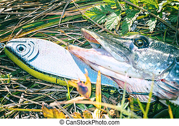 Pike on grass with bait in a mouth