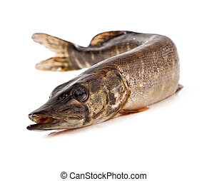 pike on white background