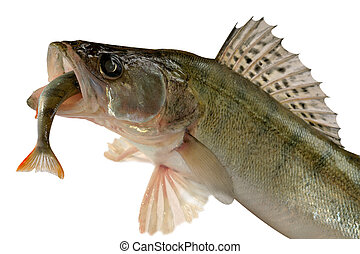 Pike perch - Large pike perch isolated on a white...