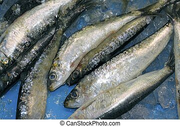 pilchard sardine seafood fish catch blue ice - pilchard...