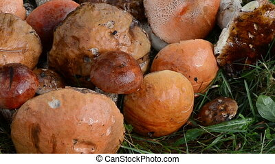 pile mushrooms red cap - macro stack of wet orange-cap red...