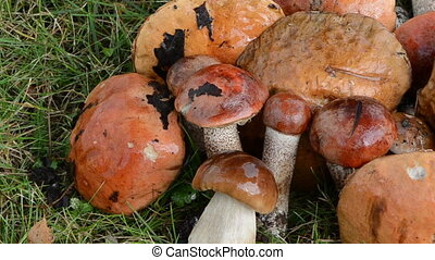 pile mushrooms red cap - Pile stack of wet orange-cap red...