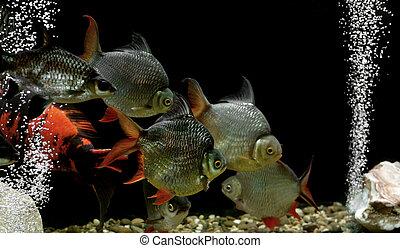 carp fish in the aquarium - pile of carp fish in the ...
