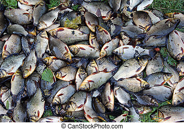 Pile of caught crucians on green grass. Successful fishing....