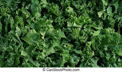 Pile Of Kale Vegetable Rotating - Overhead shot of fresh...