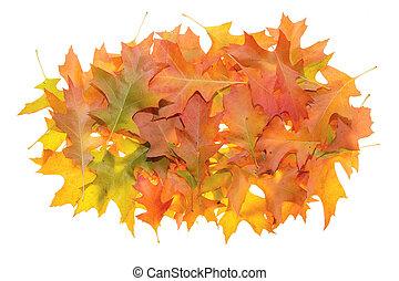 Pile of Oak Leaves in Autumn