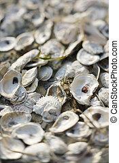 Oyster shells on Bald Head Island, North Carolina.